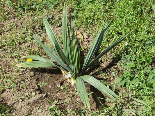 Sabal x brazoriensis ausgepflanzt im Burgund seit April 2015