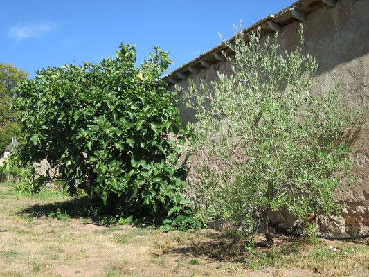 Feigenbaum und Olivenbaum