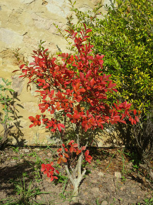 Lagerstromia indica (Mittelmeer-Flieder)