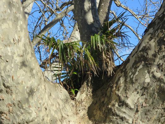 Trachycarpus fortunei (Tessinerpalme, Chinesische Hanfpalme)  als Epiphyt auf Platane im Tessin
