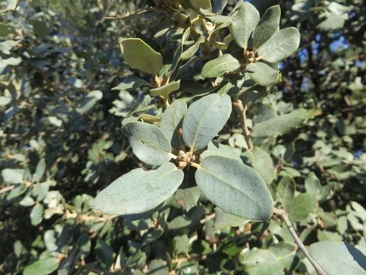 Quercus ilex var. rotundifolia (syn. var. ballota)