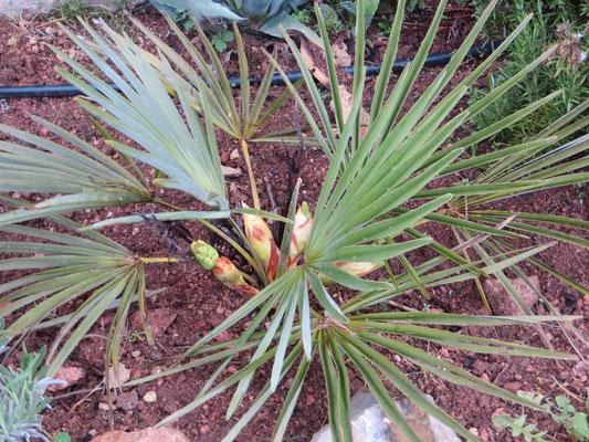 Trachycarpus nanus, Yunnan-Zwergpalme mit 4 Blütenständen