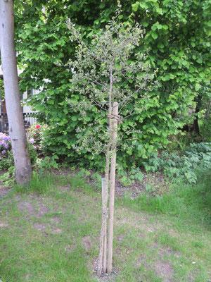 Quercus suber (Korkeiche) in Schaffhausen, Mai 2014