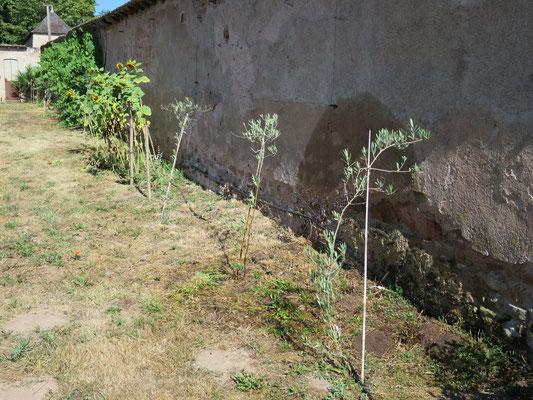 Junge Olivenbäume