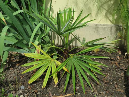 Trachycarpus geminisectus nach der Auspflanzung in Schaffhausen im Juni 2015