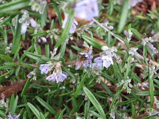 Bienen sind aktiv im Januar, hier an Blüten von Rosmarin
