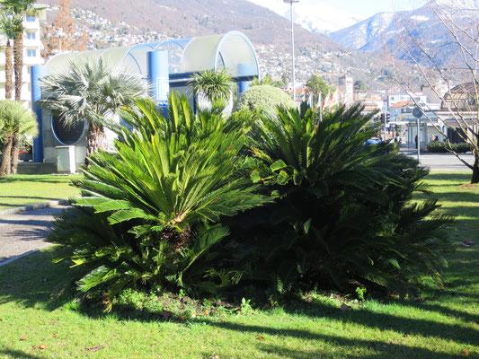 Cycas revoluta (Palmfarn) im Tessin (aus botanischer Sichtweise keine Palme)