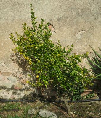 Poncirus trifoliata 'Flying Dragon' (Dreiblättrige Bitterorange mit Korkenzieherwuchs)