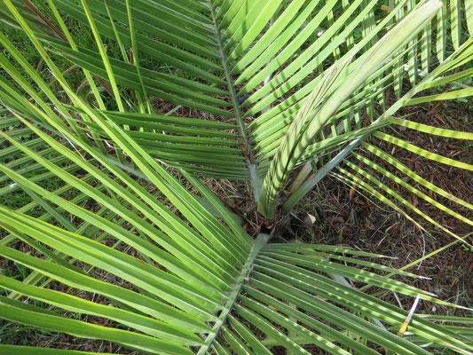 Jubaea chilensis, Chilenische Honigpalme