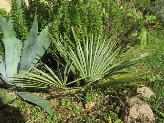 Trachycarpus nanus (Yunnan-Zwergpalme)