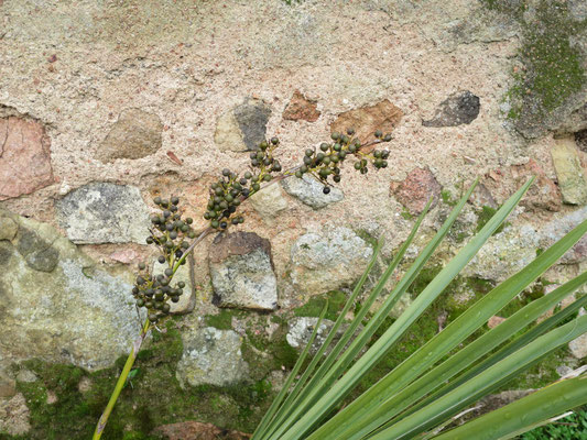 Fruchtstand von Sabal minor (Zwergpalmetto). Einige Früchte sind ausgereift!