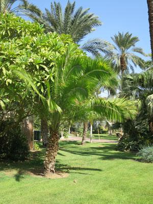 Phoenix rupicola (Klippen-Dattelpalme) in En Gedi, Israel