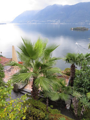 Washingtonia sp. in Porto Ronco, Tessin (CH)
