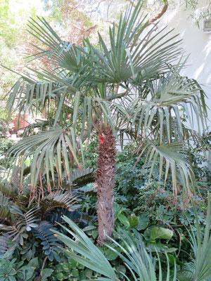 Trachycarpus fortunei (Chinesische Hanfpalme) in En Gedi, Israel