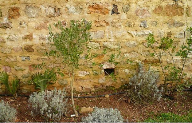 Olea europea (Olive) und Sabal sp. und Arbutus unedo