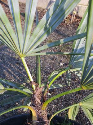 Trachycarpus geminisectus vor der Auspflanzung in Schaffhausen im Topf
