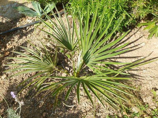Trachycarpus nanus im August 2013