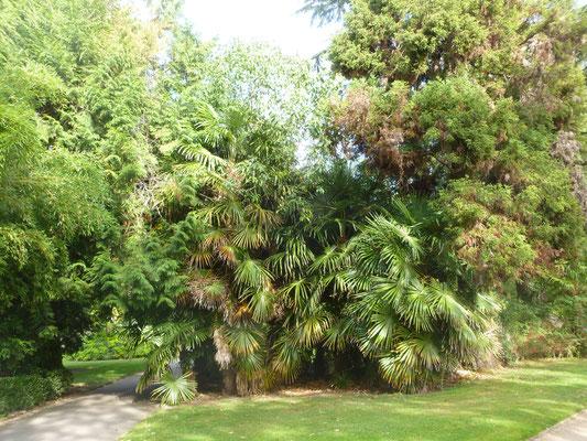 Gruppe von Trachycarpus fortunei