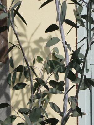Eucalyptus debeuzevillei (Schnee-Eukalyptus)