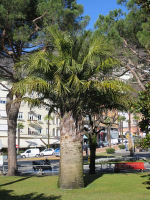 Jubaea chilensis (Chilenische Honigpalme) im Tessin