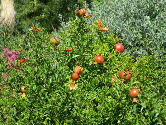 Punica granatum (Granatapfelbaum) im Botanischen Garten von Lyon