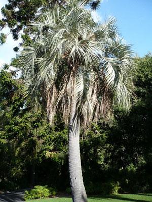 Butia odorata im botanischen Garten Melbourne, Australien