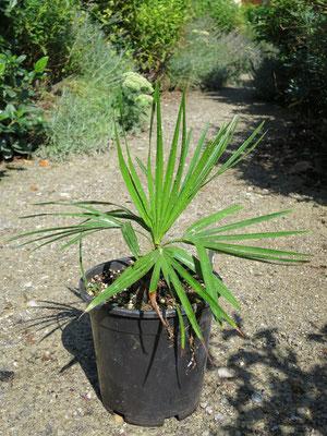 Brahea dulcis Jungpflanze