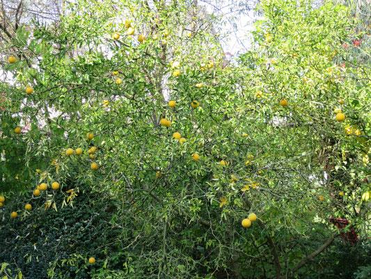 Poncirus trifoliata (Dreiblättrige Bitterorange)
