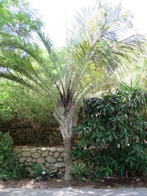 Dypsis decaryi (Dreieckspalme) in En Gedi, Israel