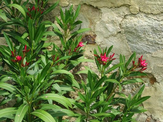 Nerium oleander 'Italia'
