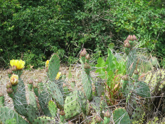 Opuntia phaeacantha var. camanchica