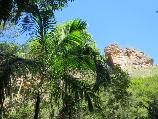 Carpentaria acuminata, Jim Jim Falls, Kakadu-Nationalpark