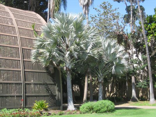 Bismarckia nobilis, Balboa Park, San Diego