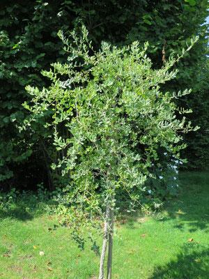 Quercus suber (Korkeiche) in Schaffhausen, August 2015
