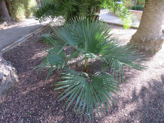 Labeled as Trachycarpus takil, but looks more like T. fortunei