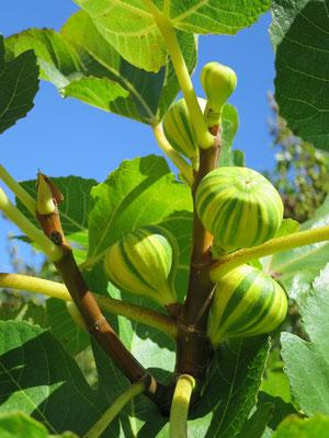 Ficus carica 'Panacé'