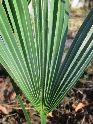 Trachycarpus ukhrulensis (Manipur / Naga Hills) im September 2016, Details Blatt