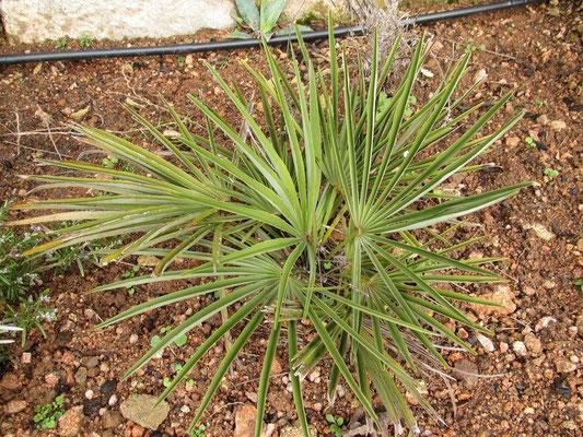 Trachycarpus nanus im Januar 2012 vor der 2 wöchigen Dauerfrostperiode.
