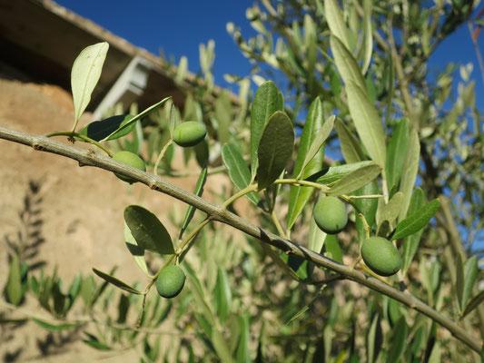 Olea europaea (Olivenbaum) mit Früchten