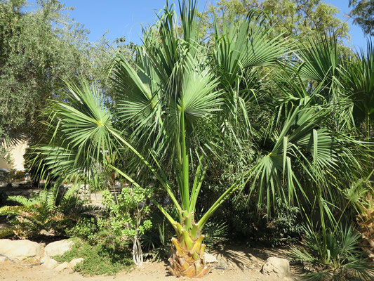 Sabal sp. in En Gedi, Israel