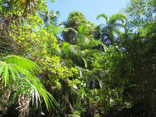 Carpentaria acuminata, Ubirr