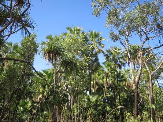 Livistona nasmophila, habitat, Zebedee springs