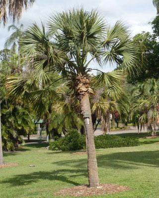 Sabal palmetto im Botanischen Garten von Brisbane