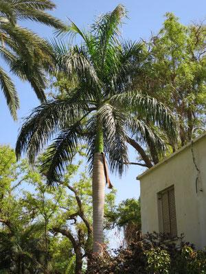 Roystonea regia (Kubanische Königspalme) in En Gedi, Israel