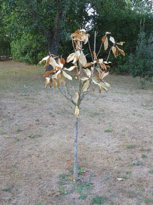 Magnolia grandiflora mit starken Trockenheitsschäden auf dem felsigen Boden