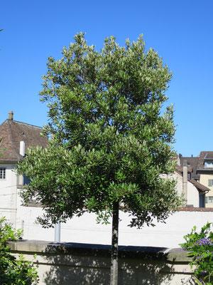 Steineiche (Quercus ilex)