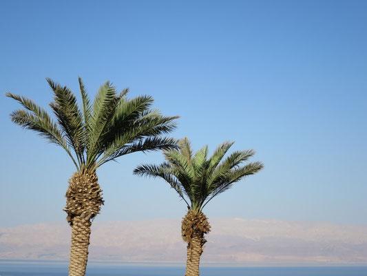 Phoenix dactylifera (Echte Dattelpalme), En Gedi, Totes Meer, Israel