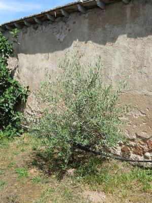 Olea europaea (Olivenbaum) im Burgund, Juli 2014