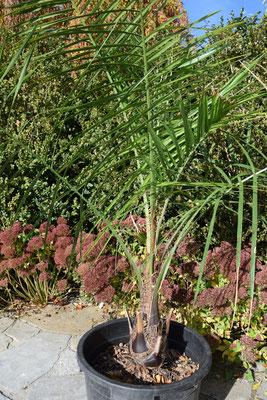 X Butiagrus nabonnandii (Butia odorata x Syagrus romanzoffiana), engl. mule palm