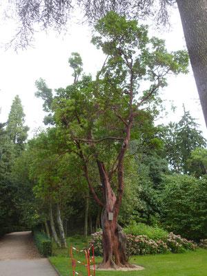 Arbutus unedo im Botanischen Garten in Nantes (Frankreich)